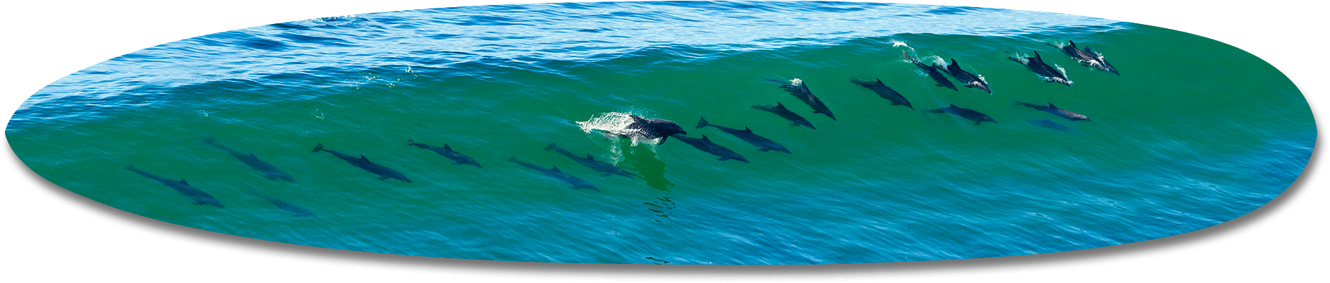 21 Dolphins Long Board