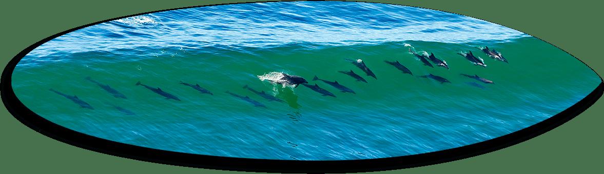 21 Dolphins Short Board