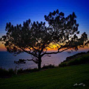 Lone Torrey Pine Tree