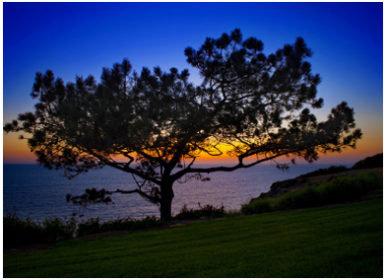Torrey Pine Lone Tree