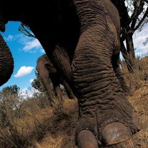 Elephants Foot