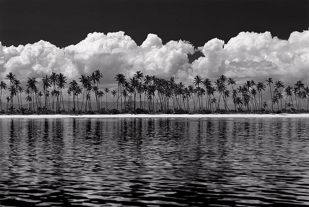 Fiji Palms